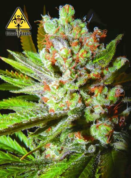 Auto 4:20 - BioHazard Seeds