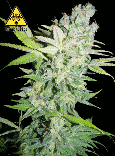 Criminal Jack - BioHazard Seeds