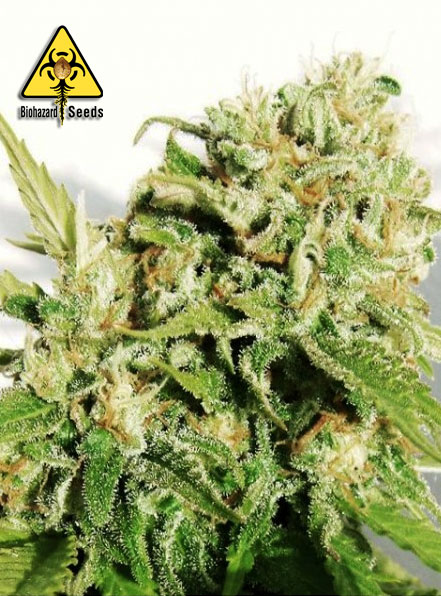 Napalm - BioHazard Seeds