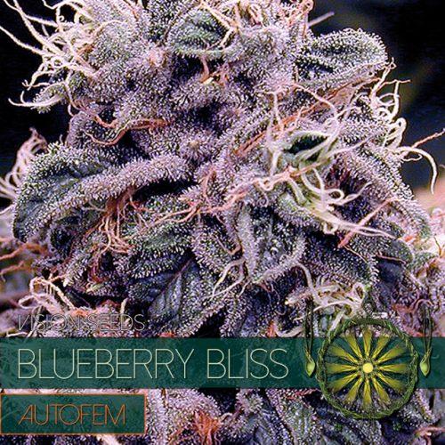 Blueberry Bliss – AutoFem - Vision Seeds