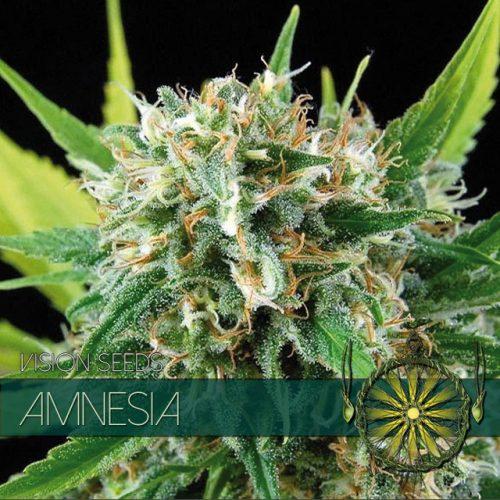 Amnesia - Vision Seeds