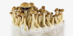Mushroom Grow Kits